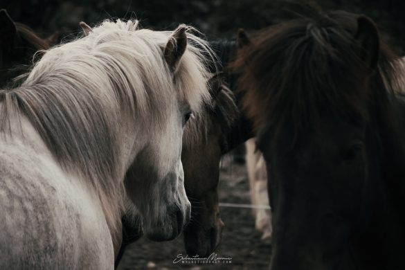 Cavallo Islandese bianco presso Laugavegur