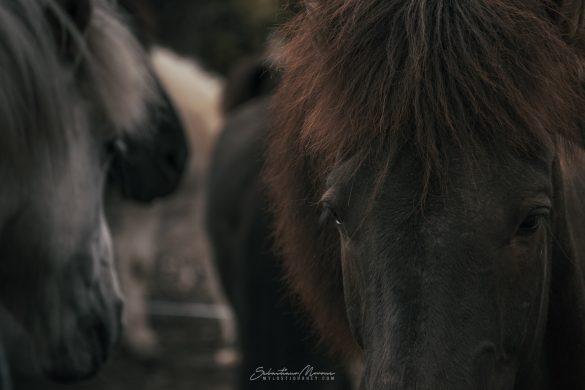 Cavallo Islandese nero presso Laugavegur